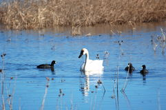 Tundra Swan and American Coots Stock Image