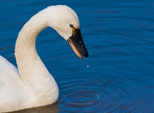 Tundra Swan and blue water background Stock Photo