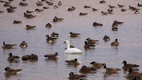 Tundra Swan with Canada Geese Royalty Free Stock Images
