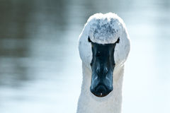 Tundra Swan. Close-up of a Tundra Swan Stock Images