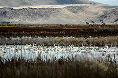 Tundra Swan, Cygnus columbianu Royalty Free Stock Photo
