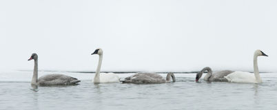 Tundra Swan (Cygnus columbianus) Royalty Free Stock Photos