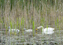 Tundra swan (Cygnus columbianus) Royalty Free Stock Images