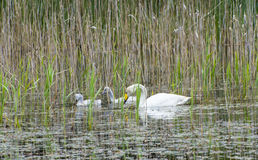 Tundra swan (Cygnus columbianus) Stock Images