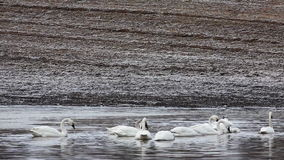 Tundra Swan, Cygnus columbianus, feeding stock video footage