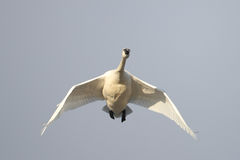 Tundra Swan Flying Overhead on Spring Migration Royalty Free Stock Photo