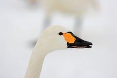 Tundra swan Royalty Free Stock Image