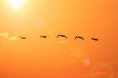 Tundra swan Stock Image