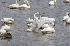 Tundra Swan Display Stock Photo