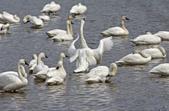 Tundra Swan Display Royalty Free Stock Images