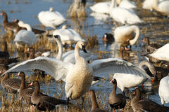 Tundra swan flapping its wings Royalty Free Stock Images