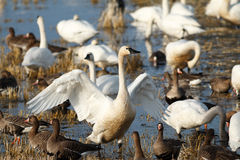 Tundra swan flapping its wings Stock Photo