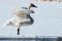 Tundra Swan Flaps its Wings Royalty Free Stock Photos