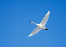 Tundra Swan in Flight Royalty Free Stock Photography