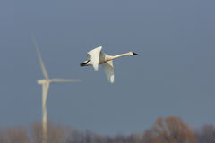 Tundra Swan in flight with a wind turbine in the background Stock Photos