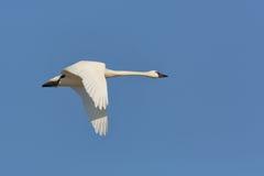 Tundra Swan Flying Against a Blue Sky Royalty Free Stock Photos