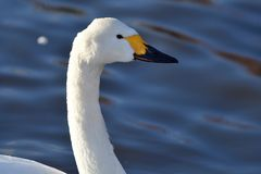 Tundra swan royalty free stock images