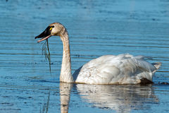 Tundra Swan. In the marsh with mud and weeds Royalty Free Stock Photos