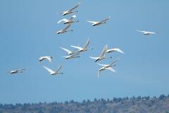 Tundra swan migration Stock Photo