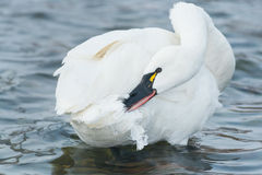 Tundra Swan stock images