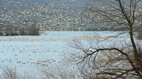 Tundra swan and snow geese migration stock photo