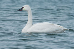 Tundra Swan Stock Photo