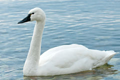 Tundra Swan Stock Photos