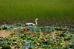 Tundra Swan swimming among water lilies tundra pond in Alaska Stock Photography