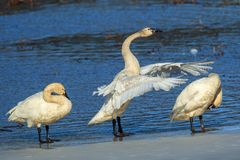 Tundra swans flapping its wings. Stock Images