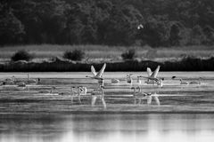 Tundra Swans Stock Photos
