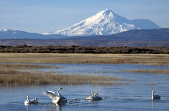 Tundra Swans below Mount Shasta Stock Image