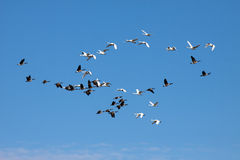 Tundra Swans and Canadian Geese Royalty Free Stock Photos