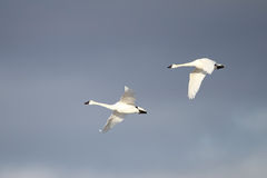 Tundra Swans Migrating in Spring Stock Images