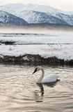 Tundra Swans (Cygnus columbianus) rest on ice covered river Royalty Free Stock Images