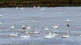 Tundra Swans, Cygnus columbianus, swimming on wild rice paddy in northern Minnesota. Many Tundra Swans, Cygnus columbianus, swimming on wild rice paddy in stock footage