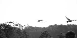 Tundra swans in flight. Black and white Stock Images
