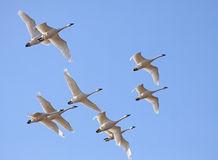 Tundra Swans in Flight Royalty Free Stock Photo