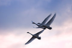 Tundra Swans in Flight Stock Image
