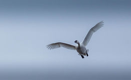 Tundra swans in-flight, coming at you. Stock Photography