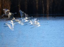 Tundra Swans in flight. Early morning in late December, some Tundra Swans taking flight from a stripper pit in south west Indiana stock photo