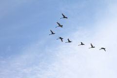 Tundra Swans flying in a clear blue winter sky. Stock Image