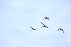 Tundra Swans flying in a clear blue winter sky. Stock Images