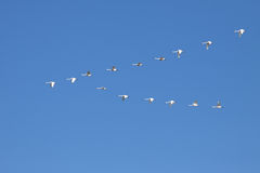 Tundra Swans Flying in Formation Royalty Free Stock Photography