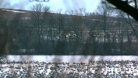 Tundra swans flying over. Video of tundra swans flying over stock video footage