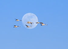 Tundra Swans and Full Moon Royalty Free Stock Image