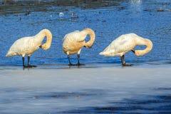 Tundra swans on ice grooming themselves. Tundra swans grooming themselves while standing on ice in north Idaho Stock Photo