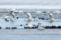 Tundra Swans Landing On Water Royalty Free Stock Images