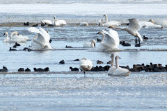 Tundra swans landing on water Royalty Free Stock Photography