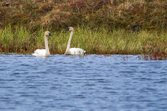 Tundra Swans Stock Images
