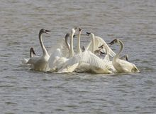Tundra Swans Protecting one of their young
